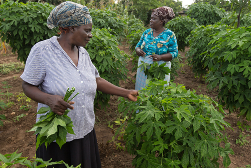 """""""Widows make the best investors,"""" Tagwira said. """"They don't have to ask a husband for permission to plant chaya in their gardens."""""""